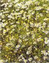 和漢薬・ローマカミツレ(花)写真