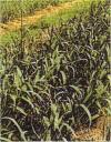和漢薬・ニンニク畑の写真
