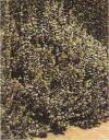 和漢薬・ローズマリーの写真