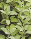 和漢薬・セージの葉、写真